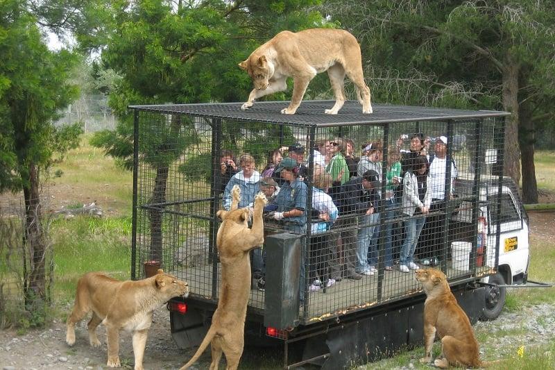 Feeding Lions at Orana Wildlife Park New Zealand