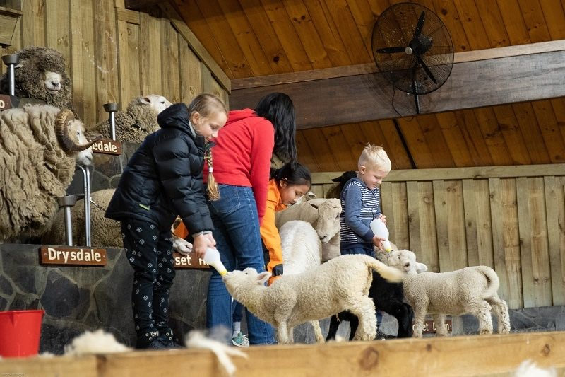 Kids feeding sheeps at Agrodome in Rotorua