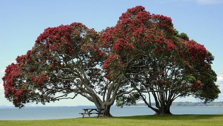 pohutukawa tree new zealand 1000px-1