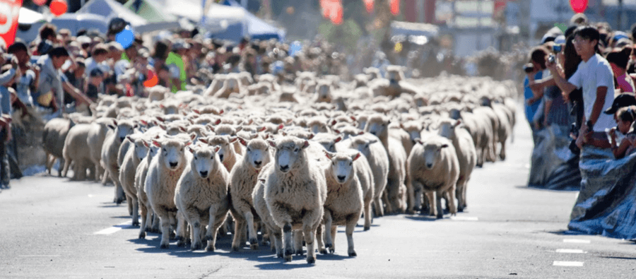 the great new zealand muster sheep on road 900px