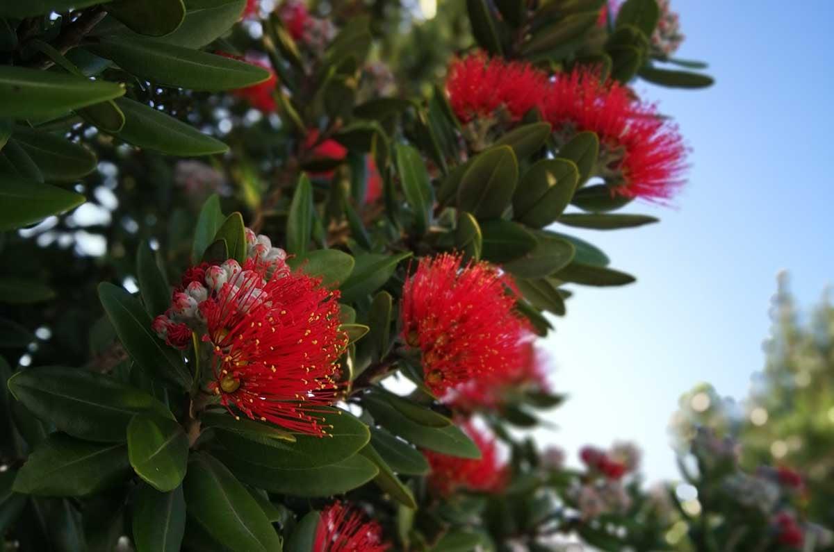 Pohutakawa-tree-NZ