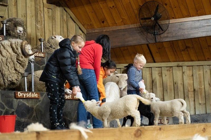 Kids feeding sheeps at Agrodome in Rotorua