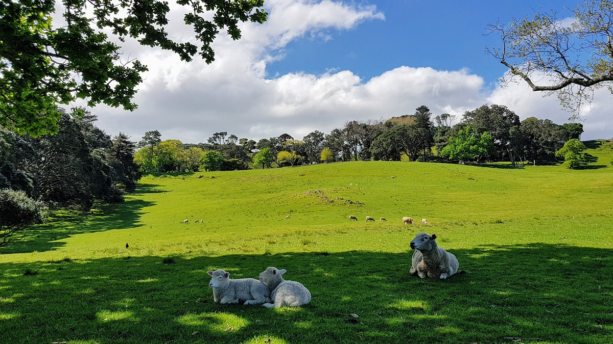 Lambs at Cornwall Park in Auckland