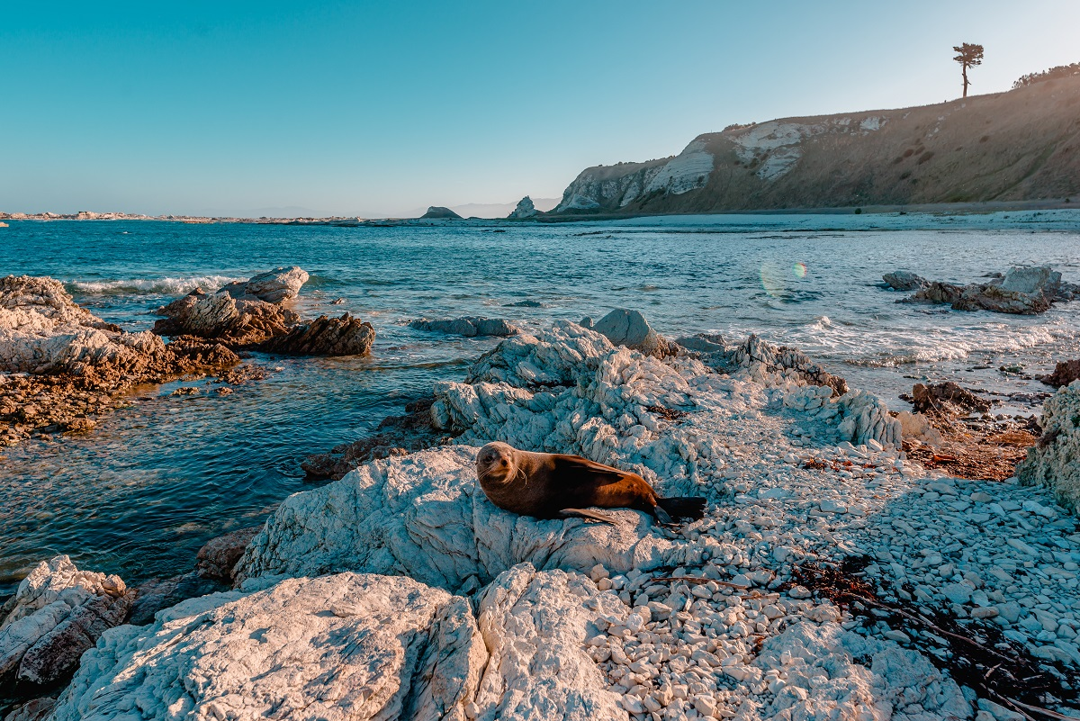 Seal sunbathing at Kaikoura, New Zealand